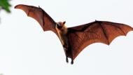 لماذا تعتبر فيروسات الخفافيش مميتة؟